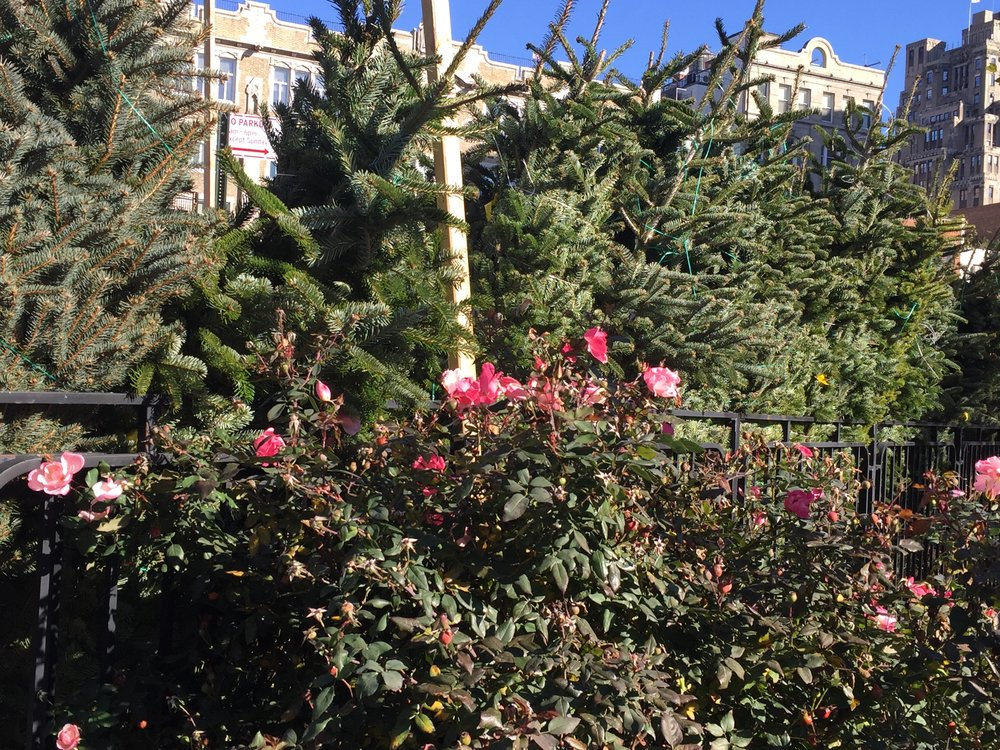 Christmas trees and the last of this year's roses in Abingdon Square