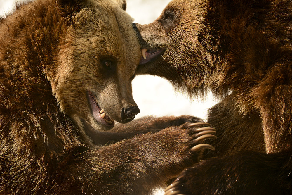 Two grizzly bears play fight in their enclosure at Cleveland Metroparks Zoo. These brothers were orphaned after their mother was killed in Wyoming.
