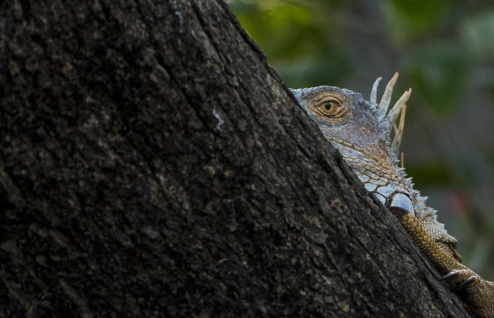 A male Green Iguana peeks out from his basking spot above the Tempisque River in Palo Verde National Park. Iguanas choose spots to sunbathe over rivers where they can make a quick getaway into the water below if they feel threatened by predators.