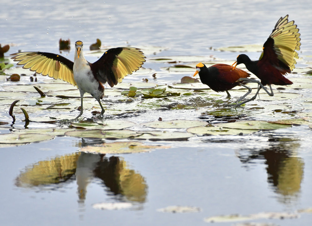 A family of Northern Jacana search for food atop lily pads in the wetlands of Palo Verde National Park. The small family calls continuously to each other as they move to let each other know where they are and drive off neighboring Jacana. On multiple occasions when they encountered an intruder they would rush the invader flapping their wings, squawking loudly to intimate and chase away the interloper.