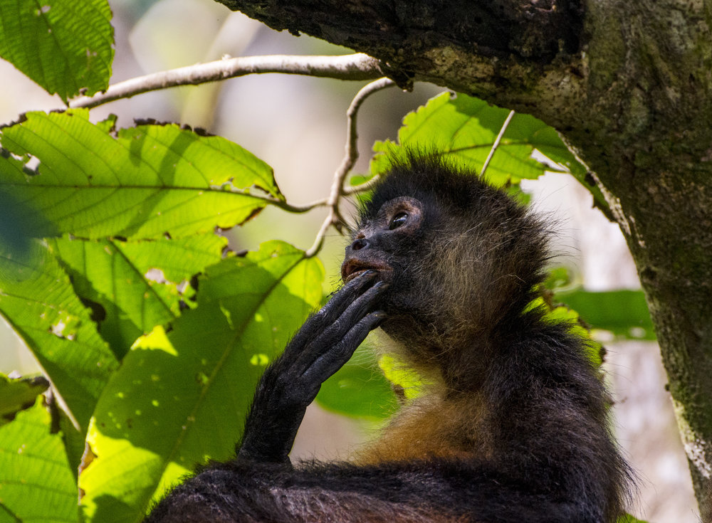 An endangered Geoffrey's Spider Monkey watches his troop as they move around through the canopy of the coastal rainforest of Osa Peninsula, Costa Rica.