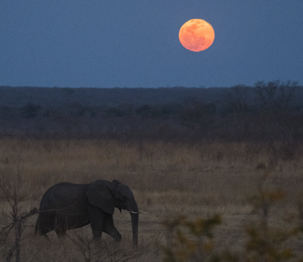 A female African Elephant is headed towards a small man-made watering hole in Zambezi National Park Zimbabwe. She and dozens of other elephants will visit this watering hole tonight. As the dry season goes on that number will skyrocket as hundreds of elephants move in from the driest areas of the park.