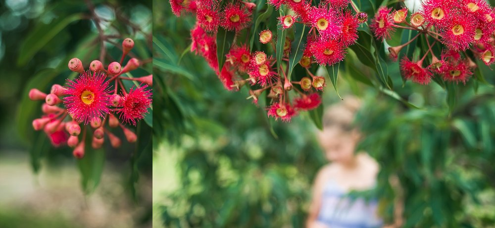 A gum tree blossoming in Sydney by Cindy Cavanagh