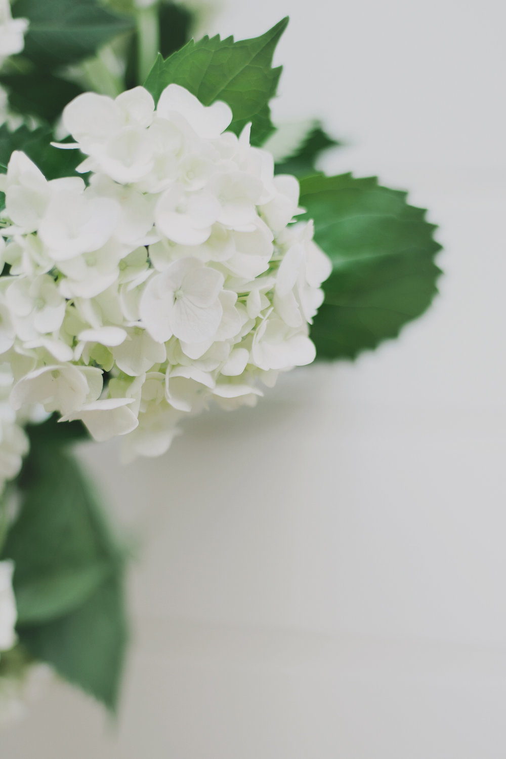 australian-still-life-photographer-hydrangeas
