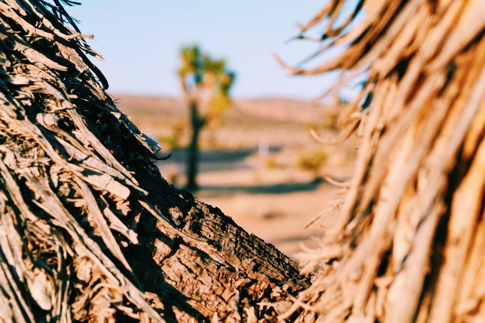 yucca-tree-joshua