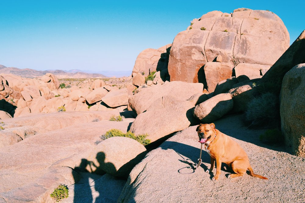 dog-joshua-tree
