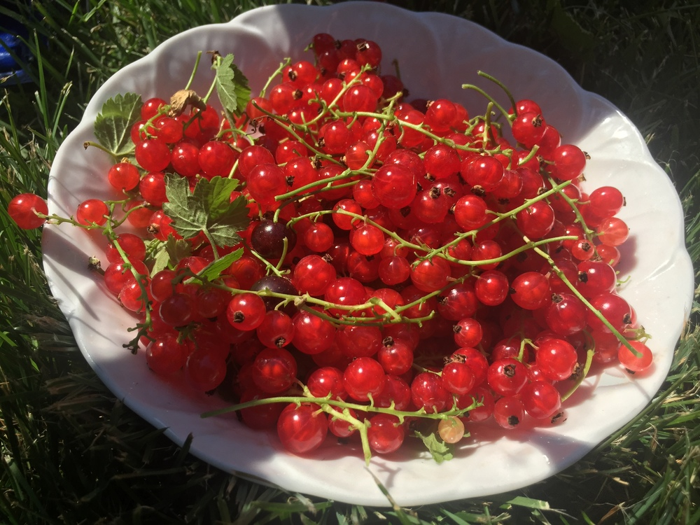 Fresh picked currants from the garden go right into our fruit punch