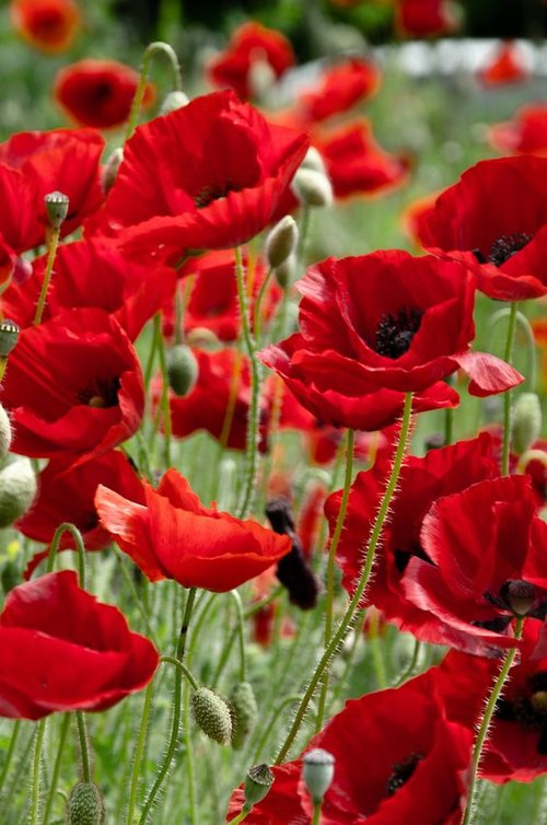 Commemorative Anzac Poppy Craft Chyka