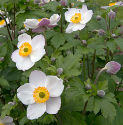 Anemone 'Dreaming Swan'
