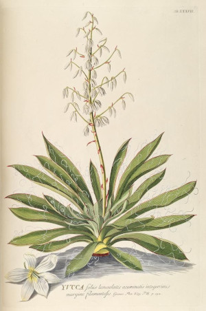 Yucca, recorded flowering at Stubbers in 1604 biodiversity heritage library