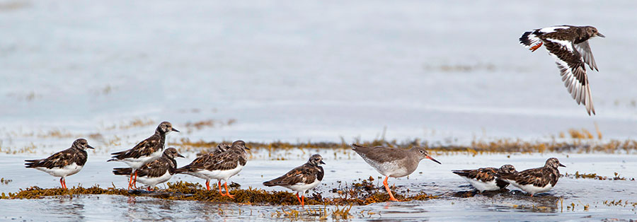 Redshank with Turnstones – pic: Duncan Usher / Alamy
