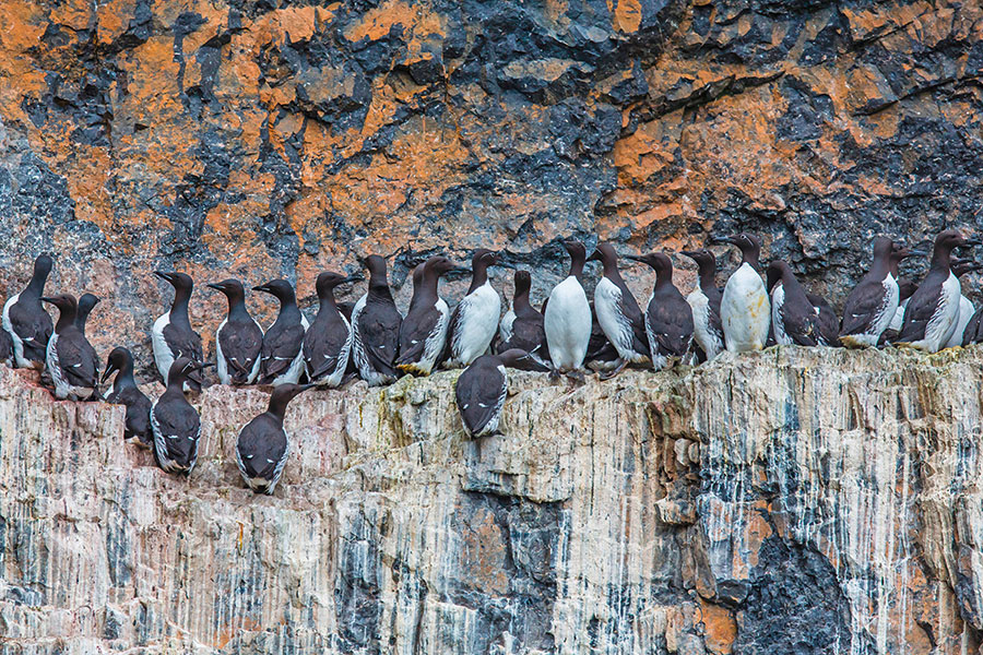 Guillemots. Pic: Robert Harding World Imagery / Alamy