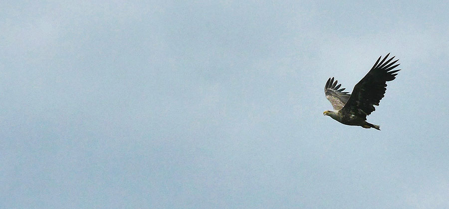 White-tailed-Eagle-Hutovo-Blato-wetlands.jpg