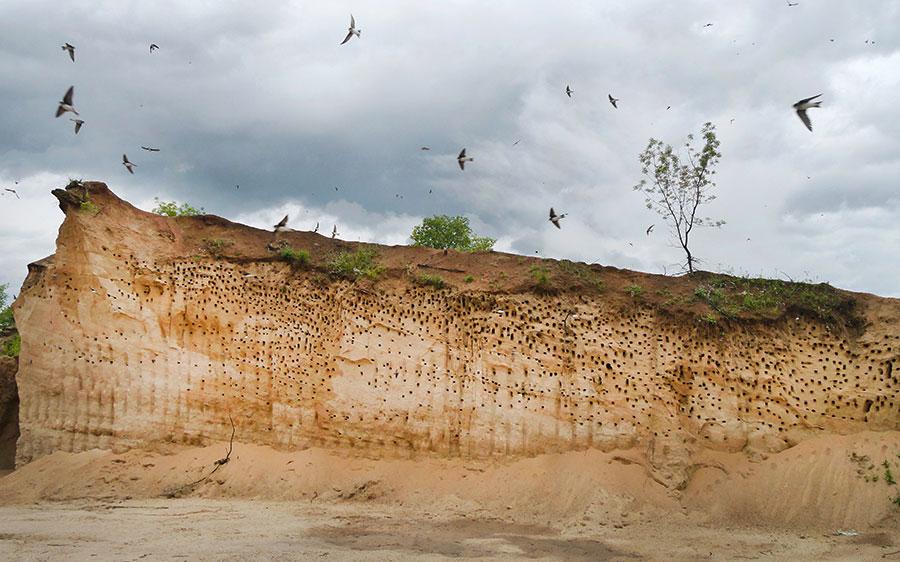 Sand-Martin-colony-2.jpg