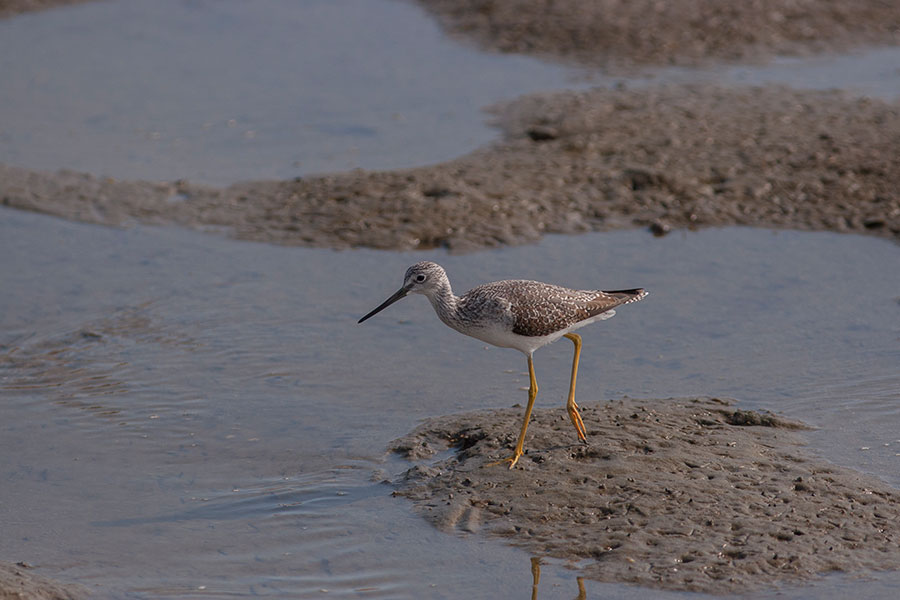greateryellowlegs0780.jpg