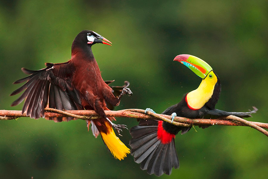 Montezuma Oropedola and Keel-billed Toucan (pic: Nature Picture Library/Alamy)