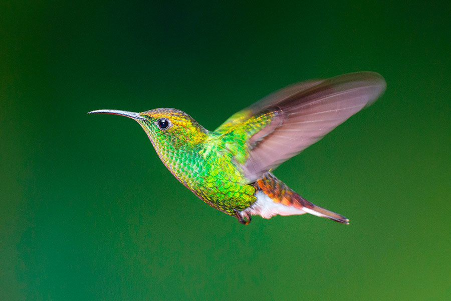 Rufous-tailed Hummingbird (pic: National Geographic Creative/Alamy)