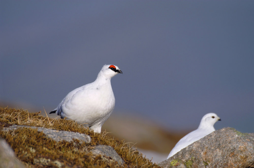 Male (left) and female (right) Ptarmigan