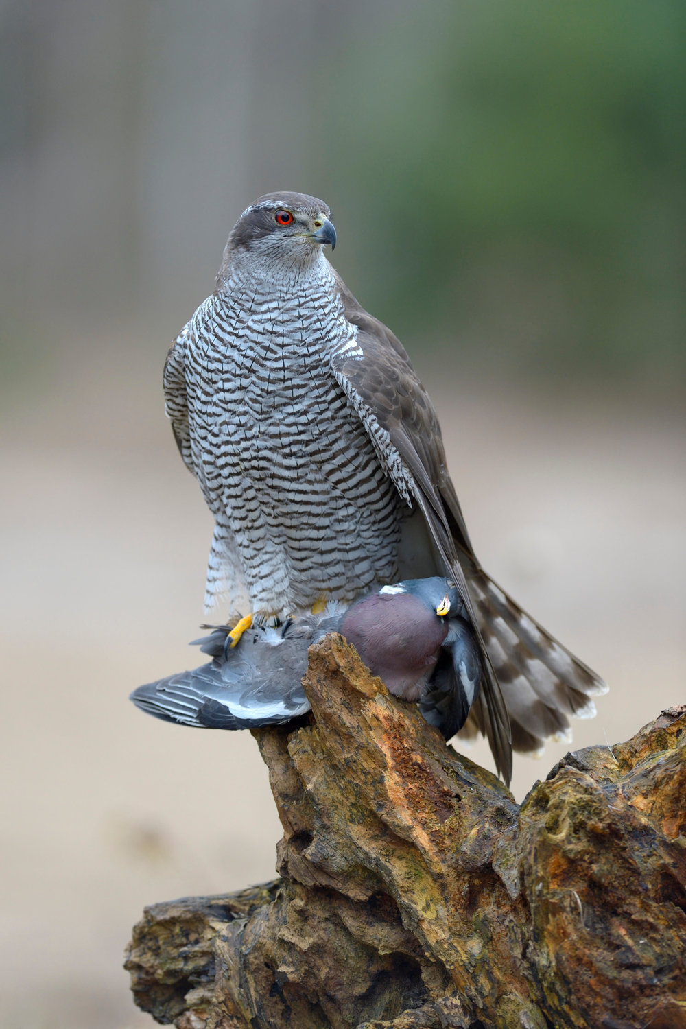 Goshawk with Woodpigeon (note the massive size of the hawk)