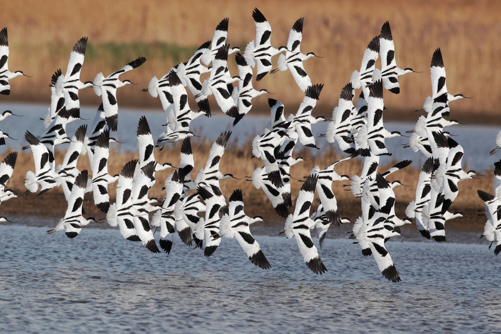 Winter flock of Avocets