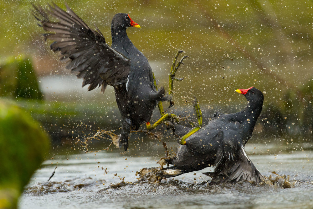 Moorhens in battle