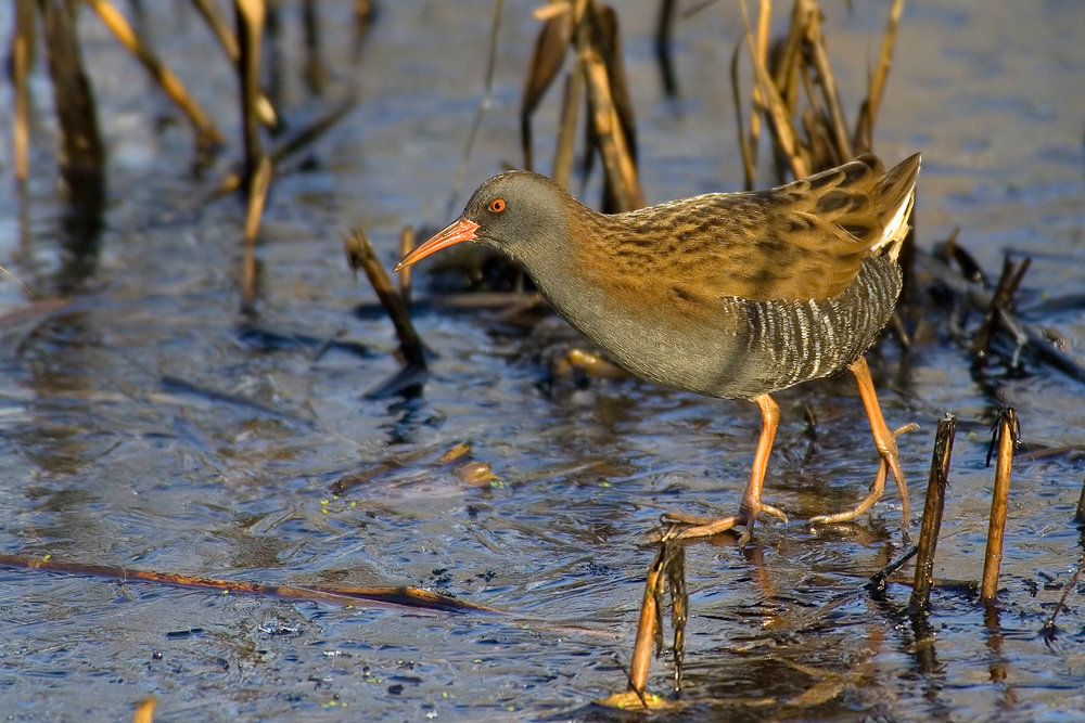 Water Rail on a sunny, icy day