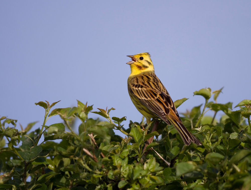 Singing male Yellowhammer 'A little bit of bread and no cheeeeese'