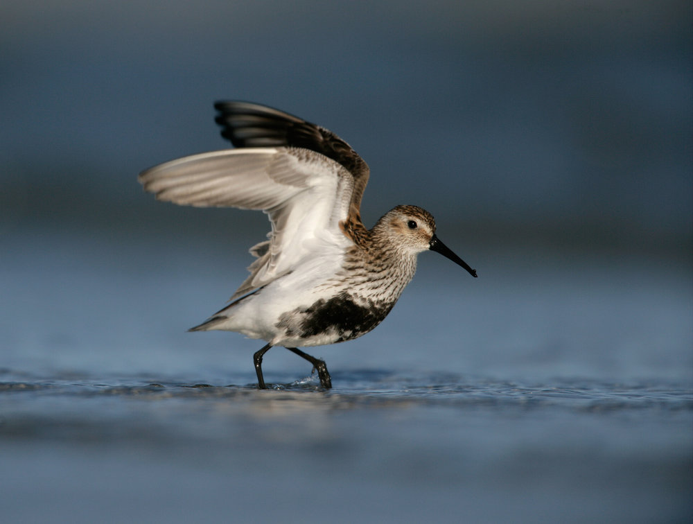 Adult breeding Dunlin