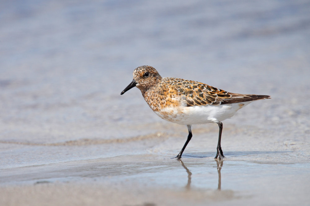 Adult breeding Sanderling