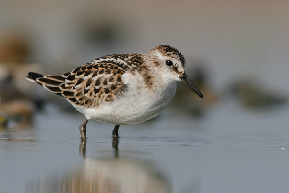 Juvenile Little Stint