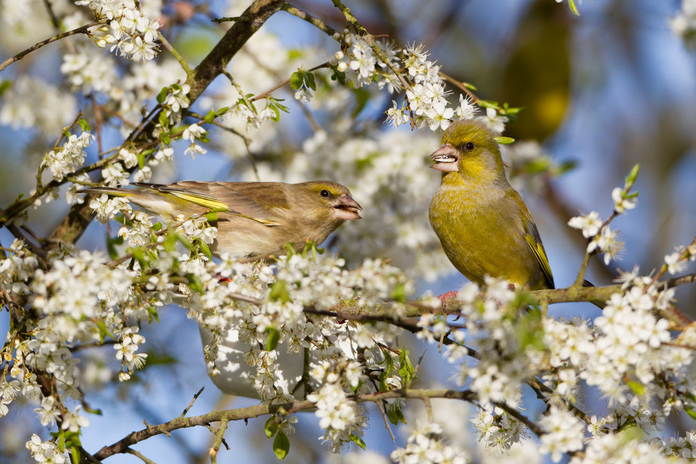 Female (left) and male (right) Greenfinch