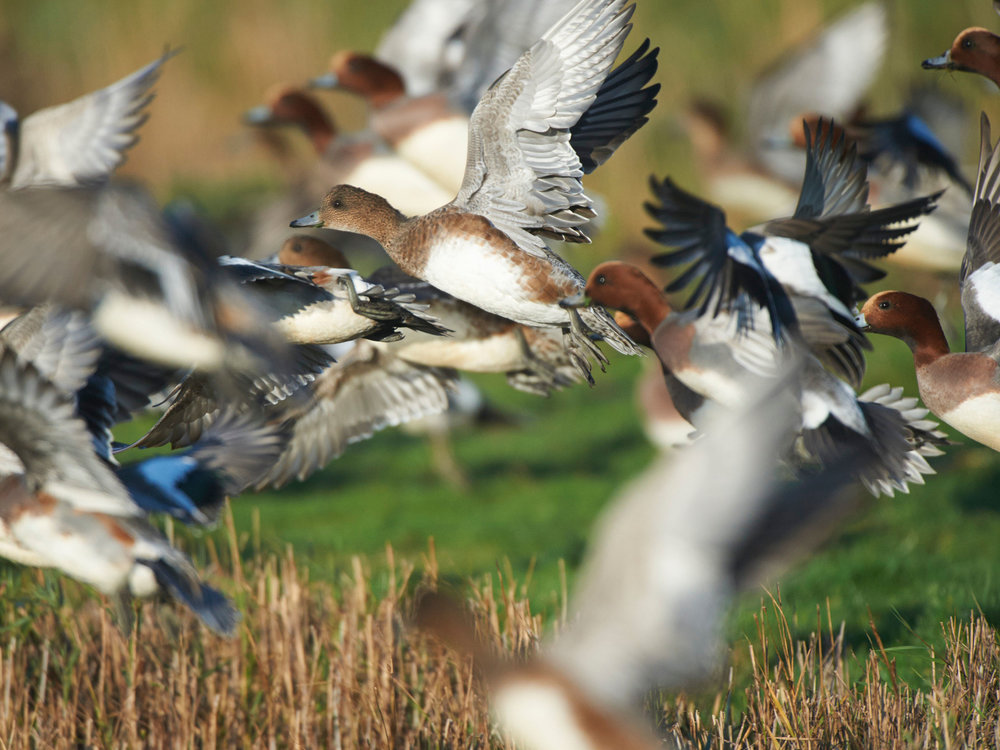 Duck and drake Wigeon in flight