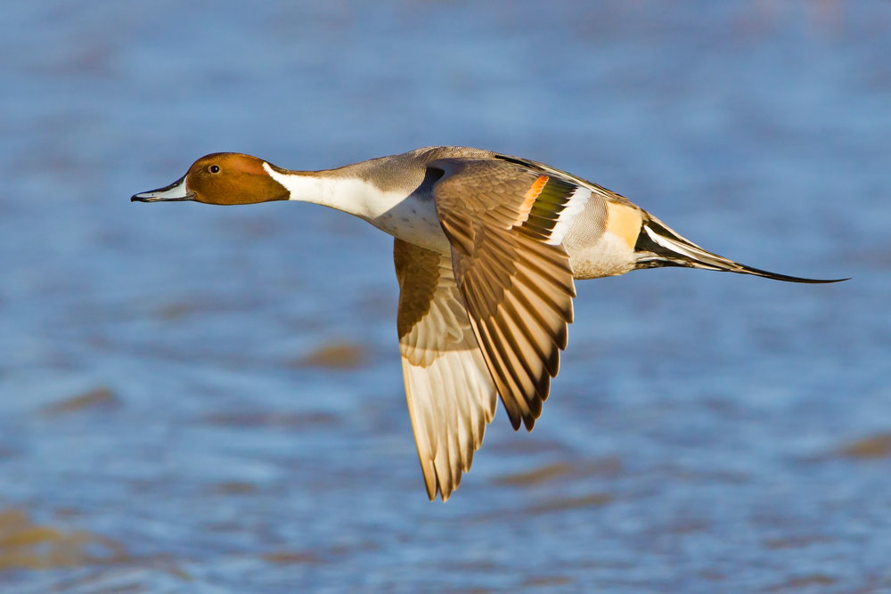 Flying drake Pintail