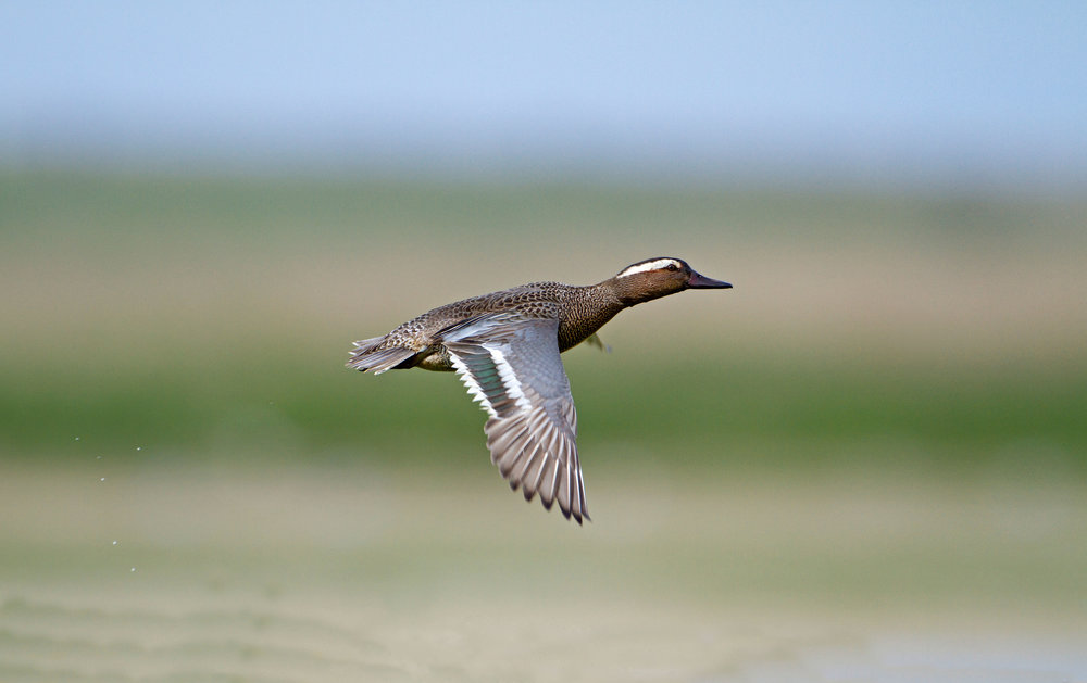 Flying drake Garganey. Note pale grey forewing