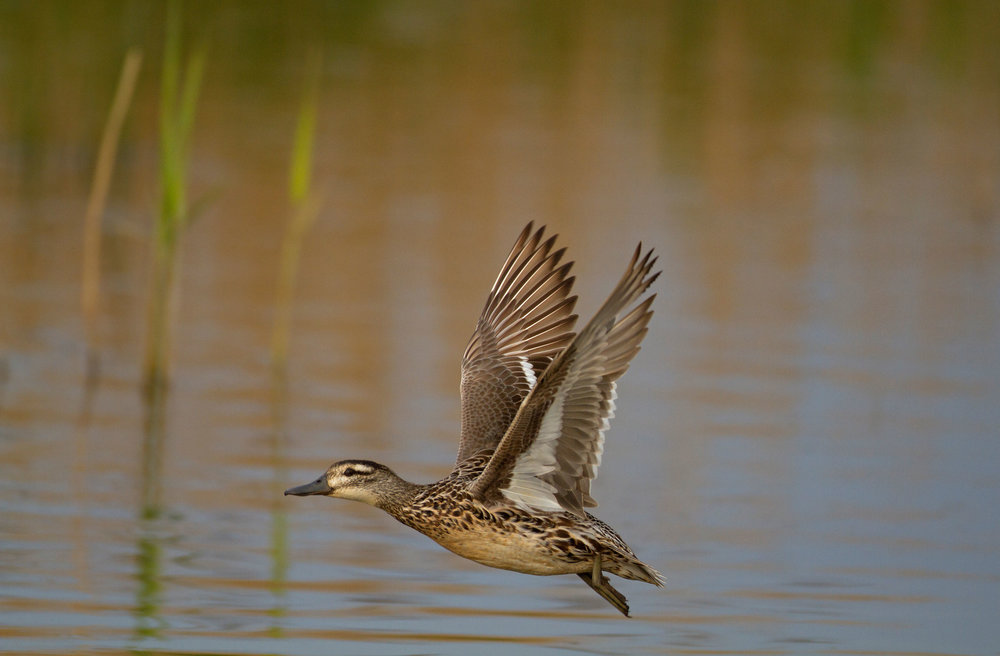 Flying duck Garganey