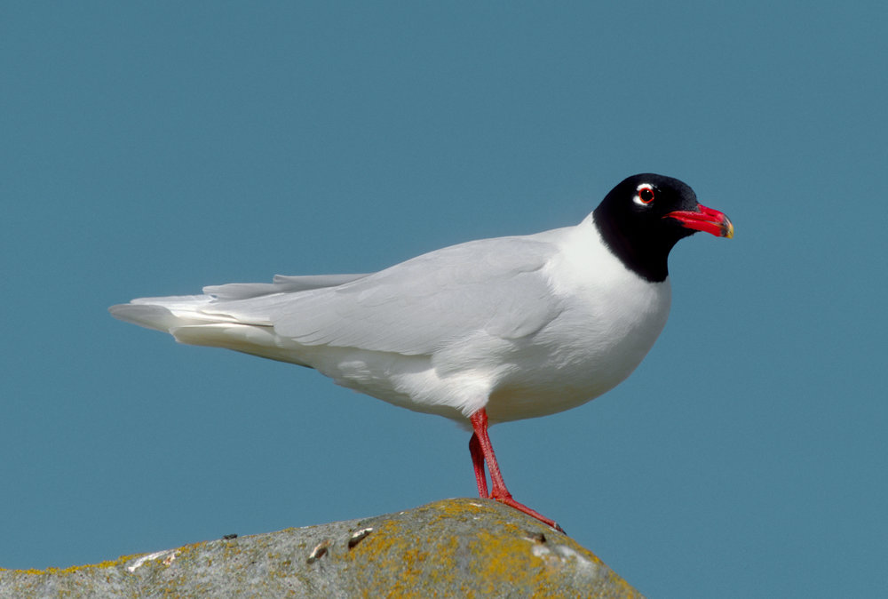 Adult summer Mediterranean Gull