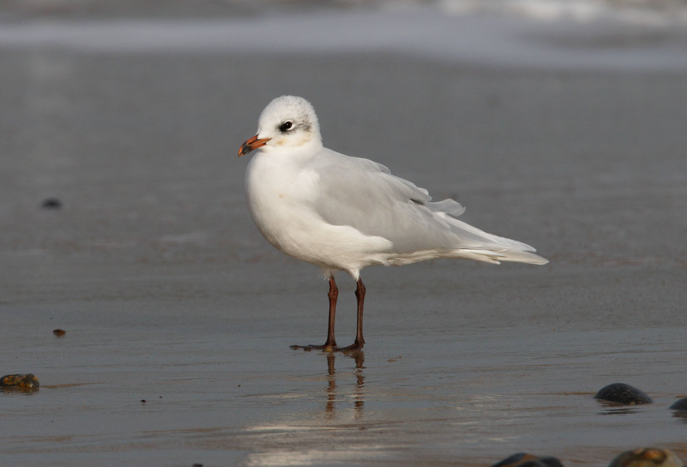 Adult winter Mediterranean Gull