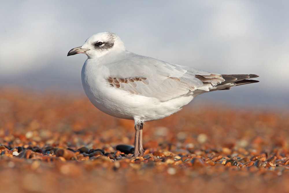 First-winter Mediterranean Gull