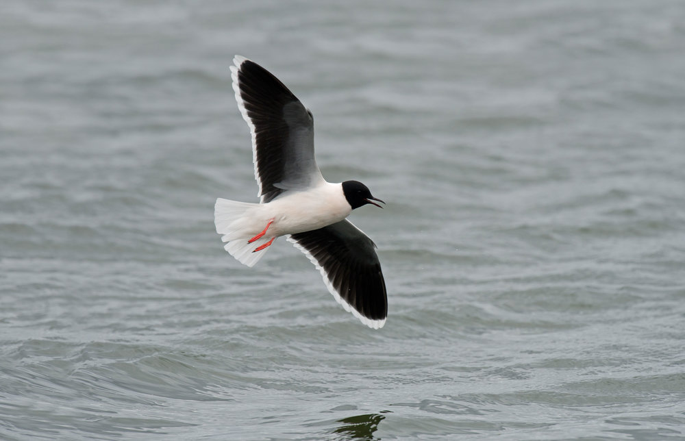 Adult summer Little Gull