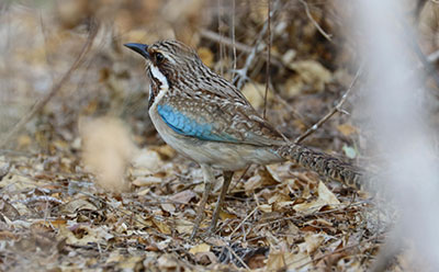 Long-tailed-ground-roller-F1.jpg