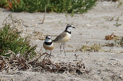 Mad-plovers-F1.jpg