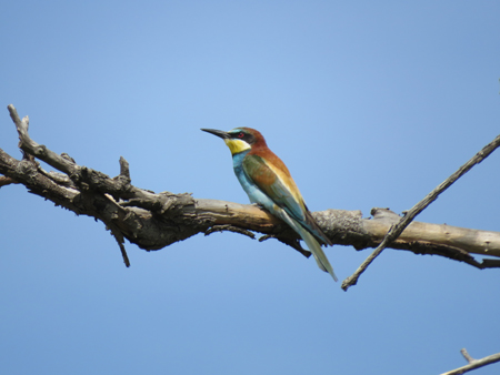 Bee-eater..JPG