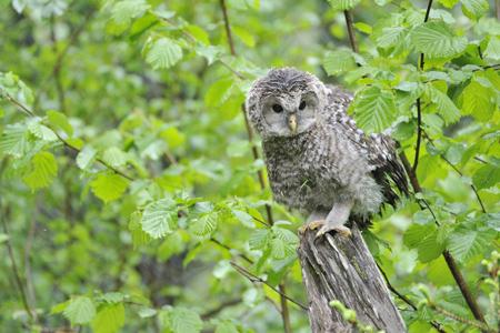 shutterstock_286766045-Ural-owl.jpg
