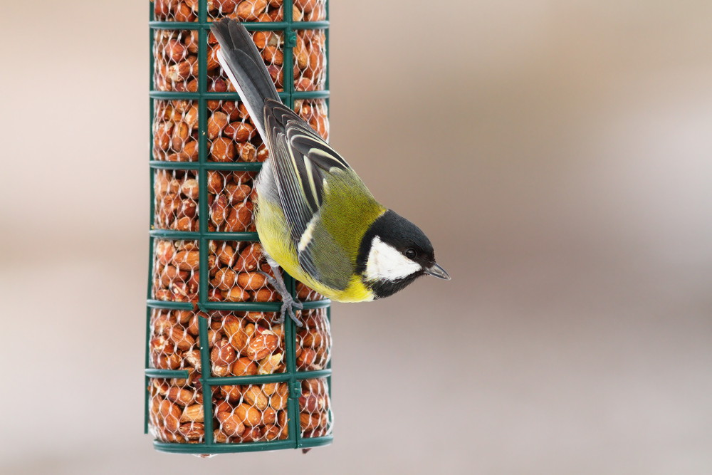 Great tit feeding on wild bird peanuts.jpg
