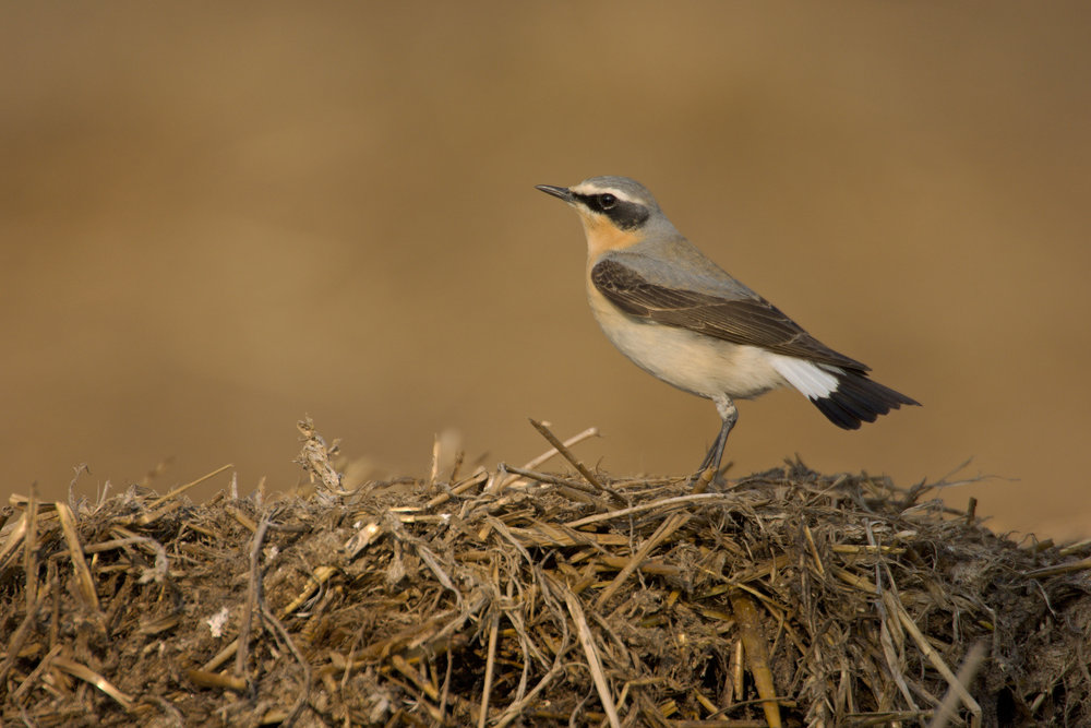 Male Wheatear in spring