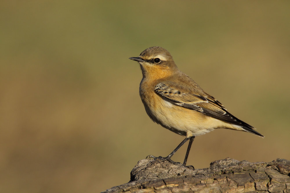 Autumn Wheatear