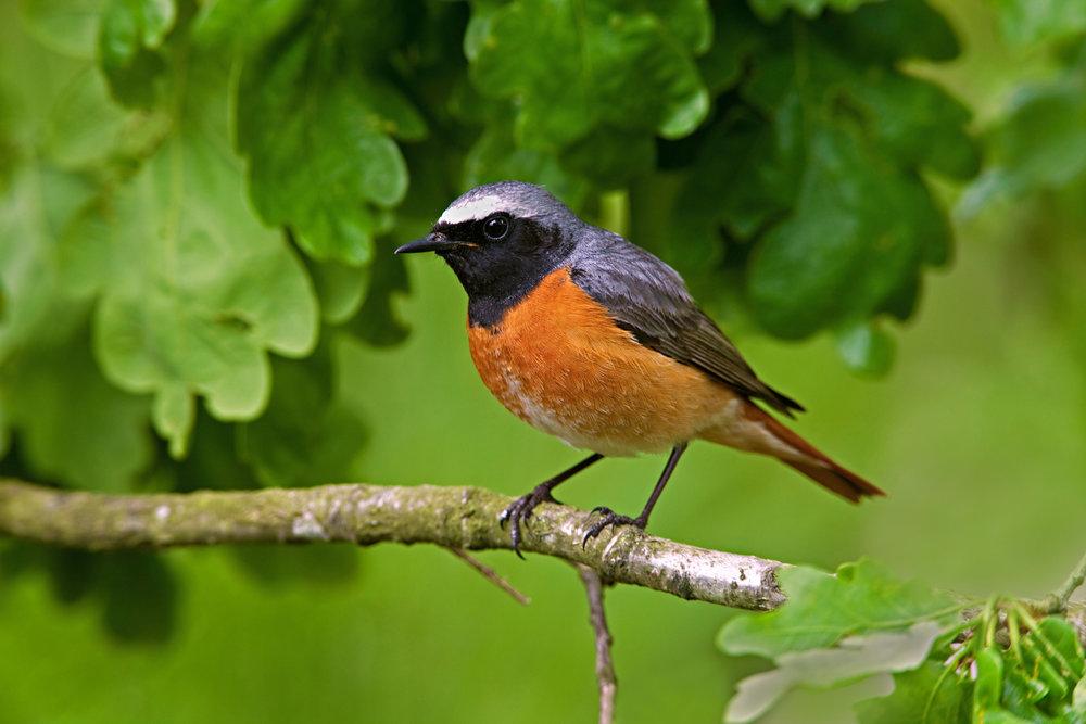 Spring male Redstart
