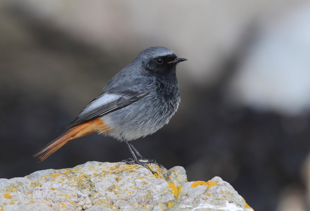 Summer male Black Redstart