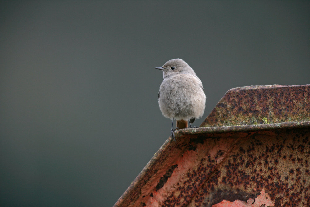 Female or first year Black Redstart