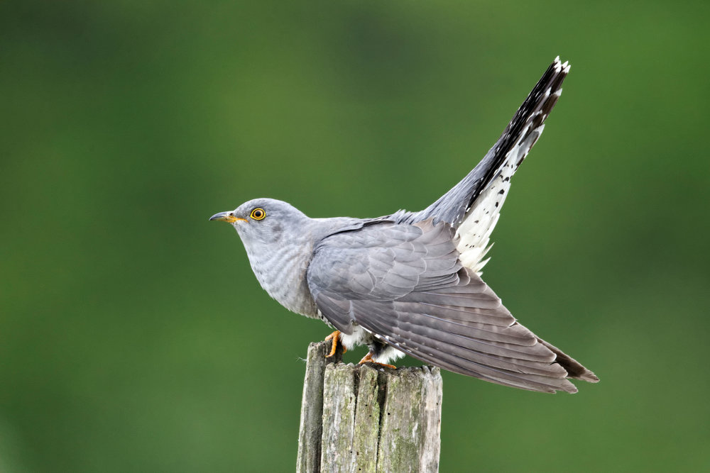 Typical male Cuckoo singing pose with wings down and tail up